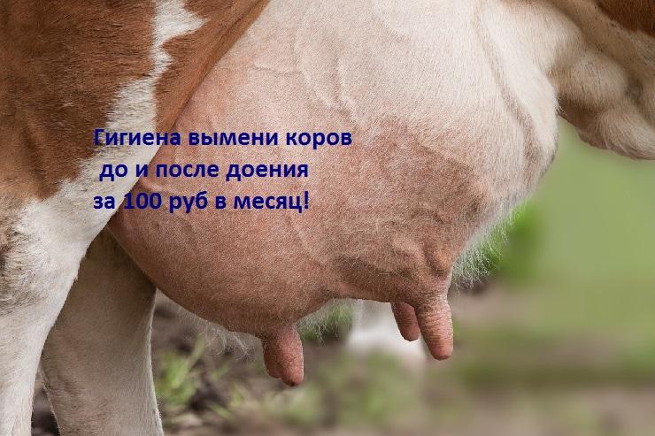 Гигиена вымени коровы за 100 руб в мес. Молоко качественное и не пахнет