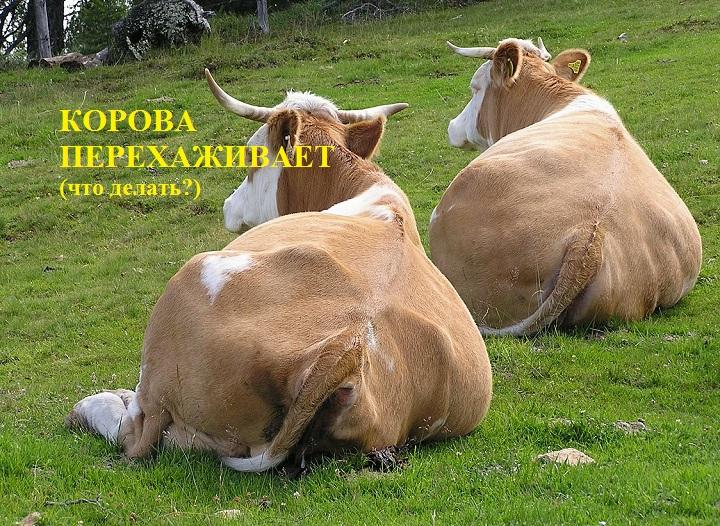 Через сколько дней перегуливает корова