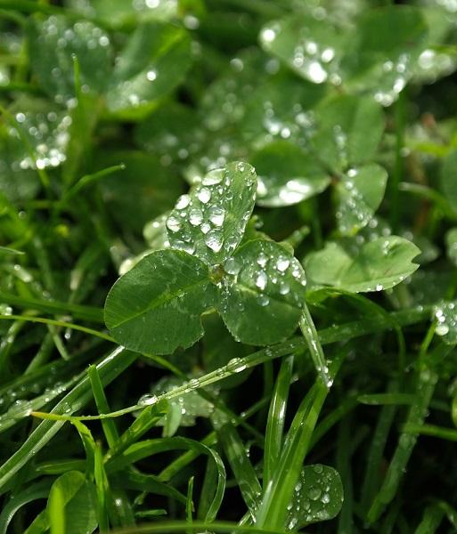 После дождя, утром и после заморозков нельзя пасти коров на люцерне, клевере и других бобовых травах