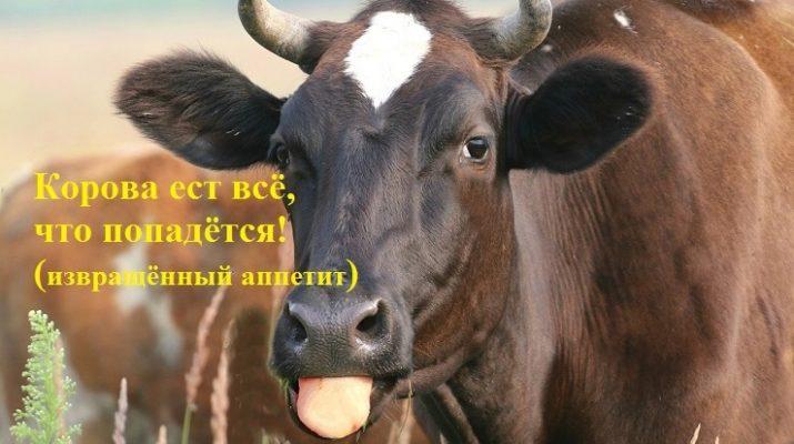 Корова ест пакеты, землю, веревку, тряпки и другие несъедобные предметы. Извращенный аппетит - как лечить