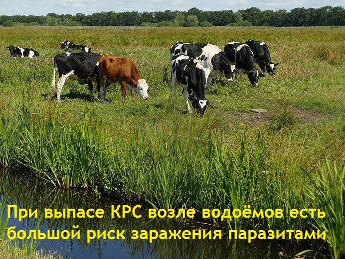Если коровы паслись или ели сочную траву - значит высок риск инвазии плоскими червями - глистами