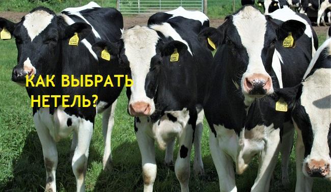 Телка это корова