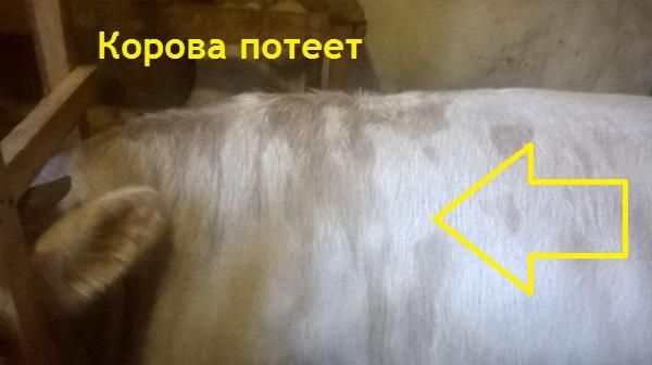 Корова потеет. Роса на корове появляется каждое утро на загривке - возможная причина высокая влажность воздуха