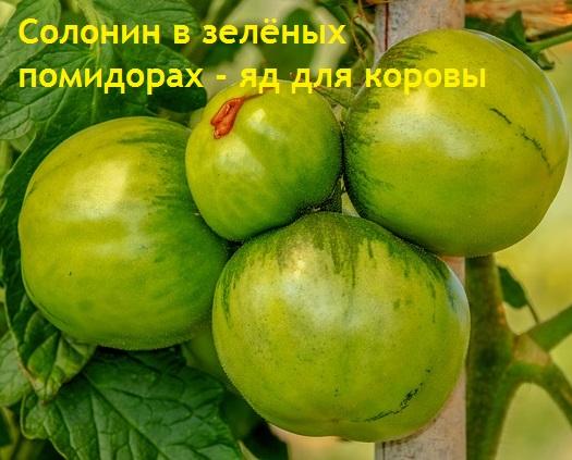 Нельзя кормить корову зелеными картошкой или помидорами из-за содержания в них солонина