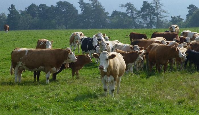 Симметальские коровы на выпасе