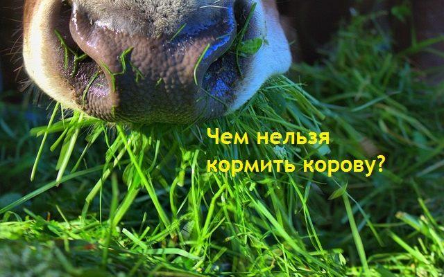 Что нельзя давать корове. О ядовитых и вредных кормах для дойной коровы
