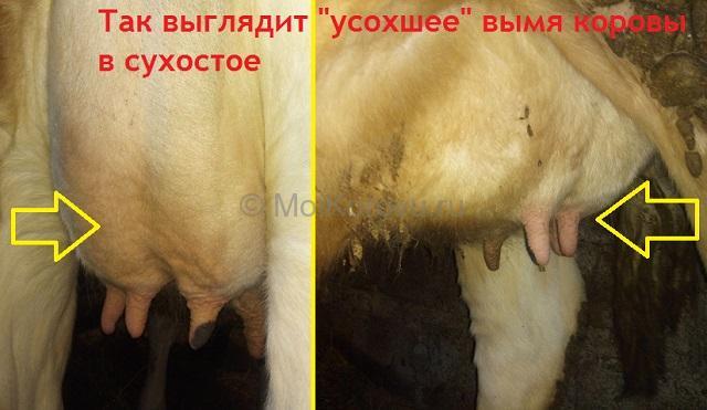 Вымя коровы в сухостое может уменьшится незначительно, а может повиснуть, как пустая сумка