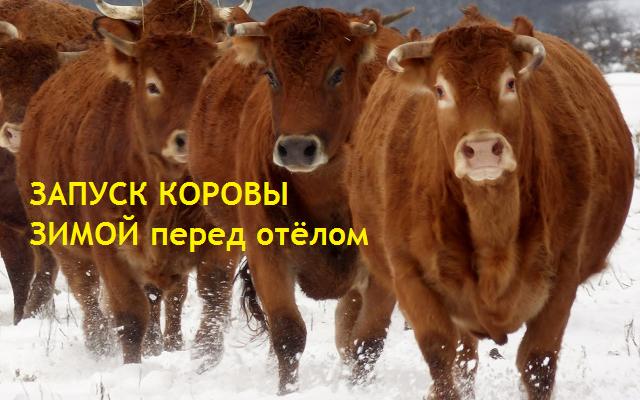 Как запустить корову перед отёлом зимой, если она даёт от 4 до 20 литров молока