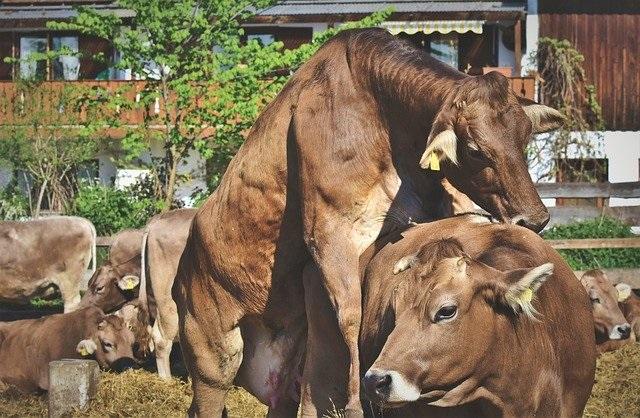 Лучшее время покрывать корову быком тогда, когда она допускает садки на себя других коров