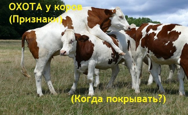 Определяем охоту у коров и тёлок. Все признаки. Когда осеменять
