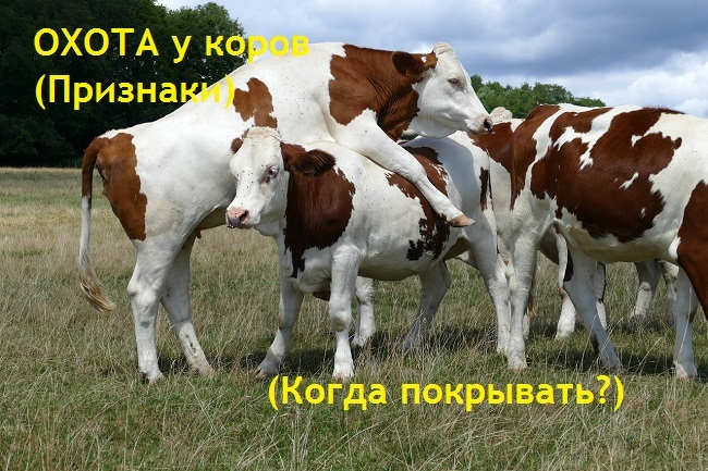 Как узнать что корова гуляет