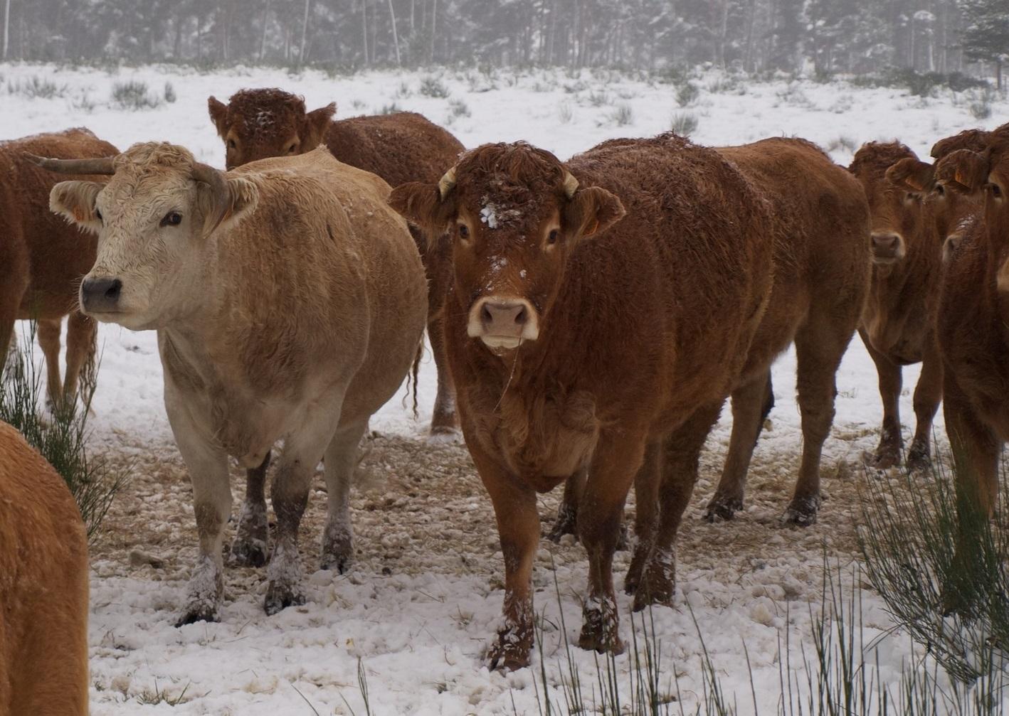 Продолжительность подготовки к запуску коровы перед отёлом зависит от удоев, чем они ниже, тем короче подготовка