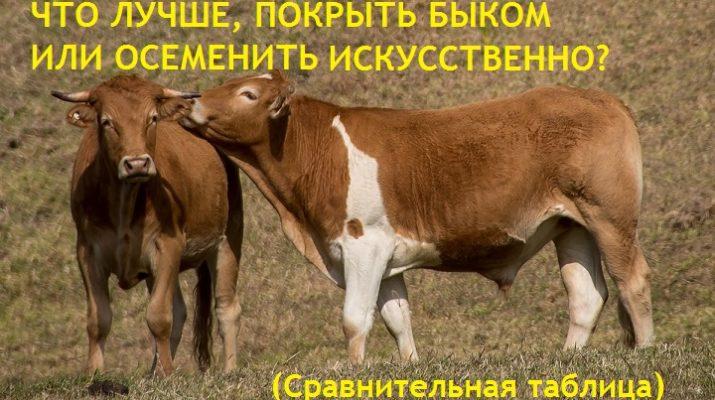Что лучше, крыть быком или осеменить искусственно. Сравнительная таблица со статистикой