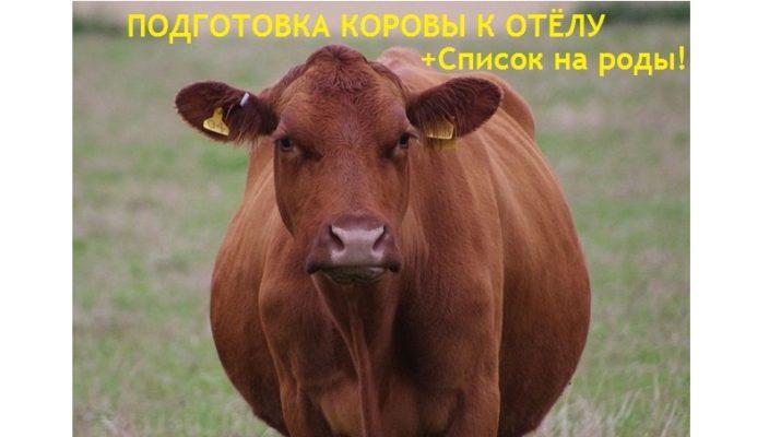 Как подготовиться к отёлу коровы или нетели. Список необходимого для родов и сразу после него