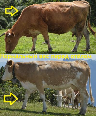 Упитанность коровы перед отёлом 3-3,5 балла. Норма.