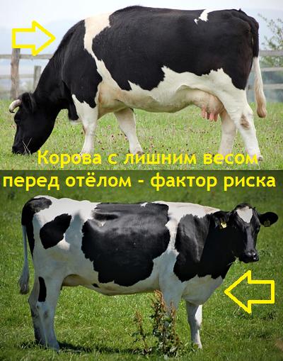 Упитанность коровы перед отёлом 4-5 баллов. Нужно уменьшить количество кормов и увеличить клетчатку