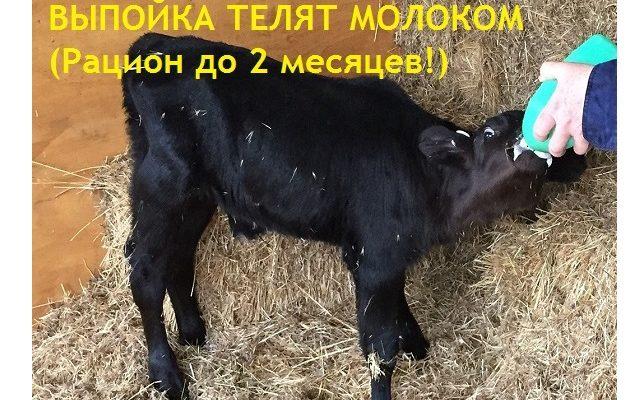 Выпойка бычков и тёлок цельным молоком. Схемы кормления до двух месяцев
