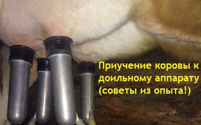 Как приучить корову или первотёлку к доильному аппарату (сроки, шаги, советы)