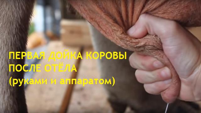 Первая дойка коровы после отёла вручную и аппаратом (время и инструкция)