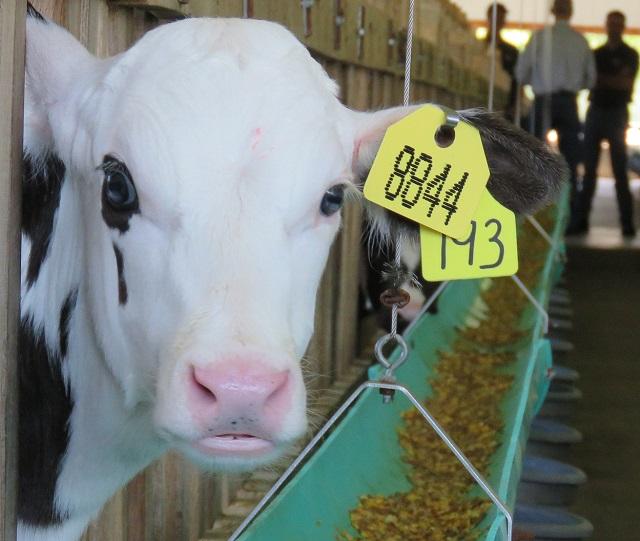 Раннее приучение телят к зерновым (овес и кукуруза) с 3-4 дня способствует развитию рубца