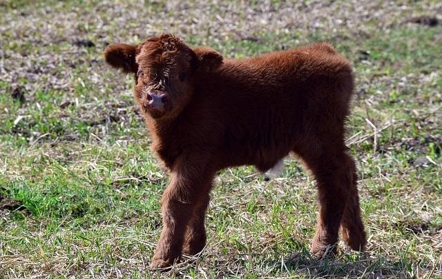 Новорожденных телят и телят до 2-х месяцев невыгодно покупать, если нет своего цельного молока.