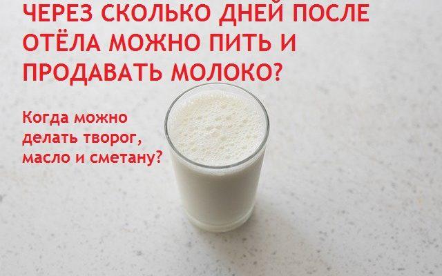 Когда можно пить молоко после отёла. Когда можно начинать продавать молоко. Когда начинать делать кисломолочные продукты