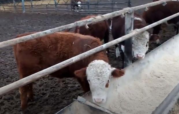 Сколько кальция давать телятам в зависимости от веса животного