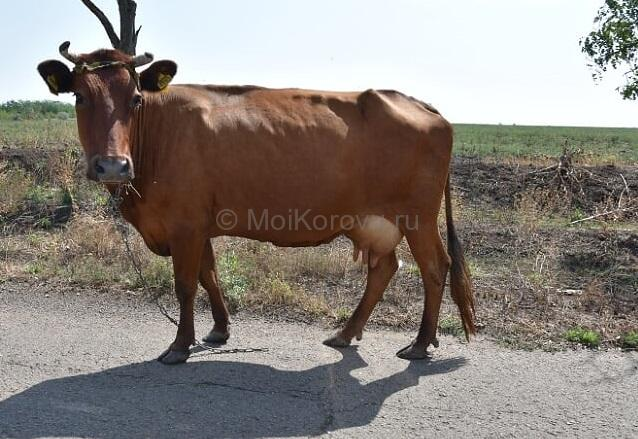 Выпас коров на привязи - как приучать корову к привязи