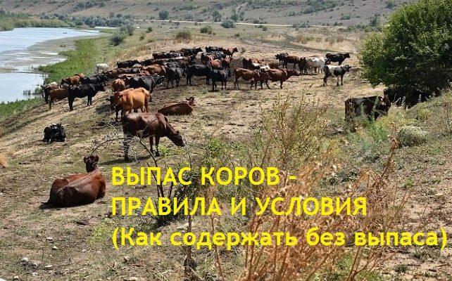 Выпас коров - условия. Как содержать коров б