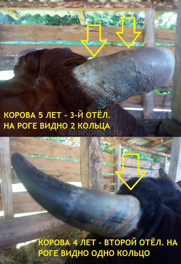 Как определить возраст коровы по кольцам на рогах. Корову какого возраста лучше покупать