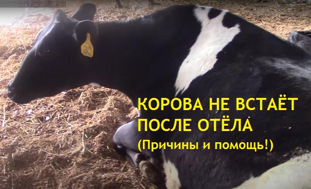 Корова не встаёт после отёла - что делать. Нормальное и ненормальное поведение коровы сразу после отёла