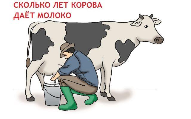 Сколько лет корова даёт молоко. Сколько лет живёт корова в хозяйстве