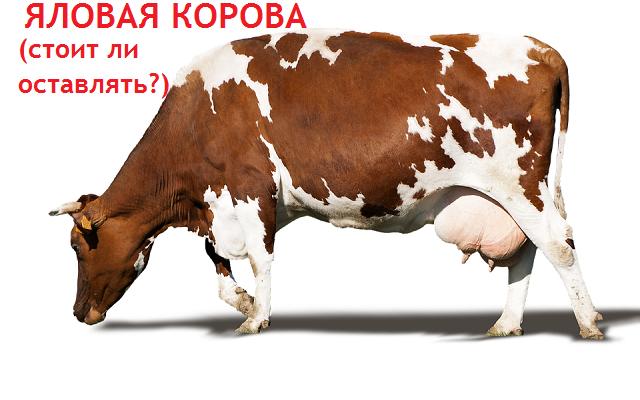 Стоит ли держать яловую корову