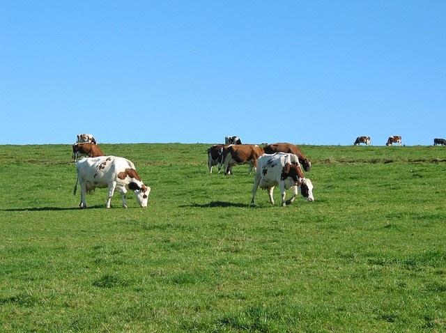 Для того чтобы найти причину поноса у коровы, нужно проанализировать, что она ела в последнее время