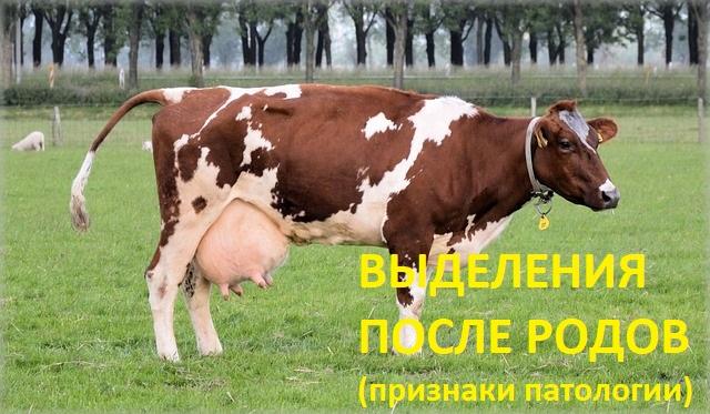 Выделения у коровы после родов - характер, включения, длительность. Признаки патологии