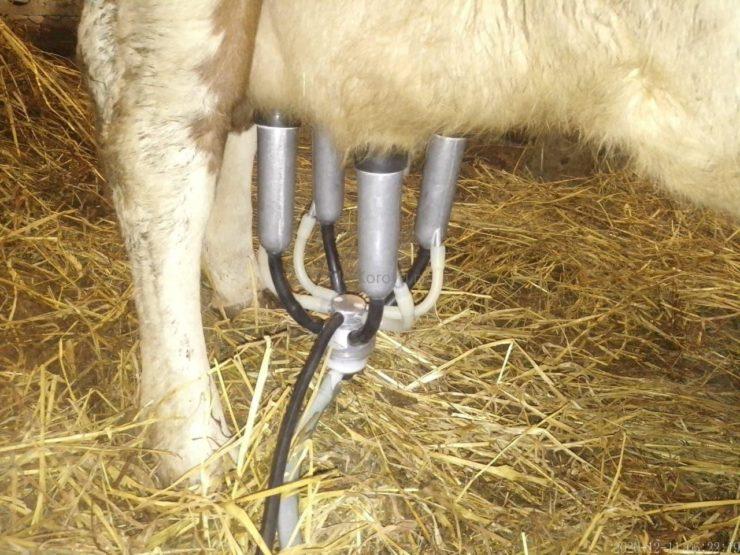 Одна из моих коров на дойке
